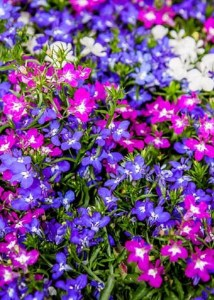Lobelia_mix_n
